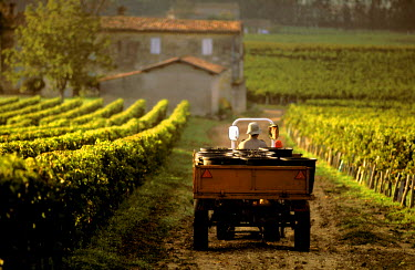 HMS302783 France, Gironde, Saint Emilion, listed as World Heritage by UNESCO, Bordeaux vineyard, carriage of the hand-picked red grapes to Chateau Haut Pourret, AOC Saint emilion Great Growths