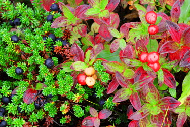NOR0596 Close up of moss and berries in coastal tundra, Vesteralen Islands, Norway
