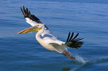 NAM6041AW Africa, Namibia, Walvis Bay, Pelican in flight