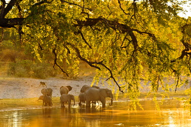 NAM6100AW Africa, Namibia, Caprivi, Bwa Bwata National Park, A herd of elephants drinking at the Kwando River