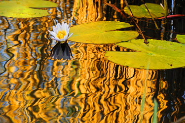 NAM6101AW Africa, Namibia, Caprivi, Bwa Bwata National Park, Lily pads reflecting in the water