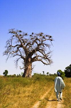 HMS182284 Senegal, Saloum River Delta, Sine Saloum area, baobab, Biosphere Reserve