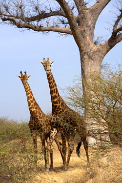 HMS258944 Senegal, Thies Region, Natural Reserve of Bandia, two giraffes