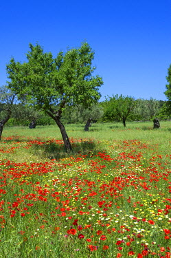 SPA4944AW Poppy Flower and Olive Trees near Valldemossa, Majorca, Balearics, Spain