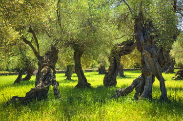 SPA4949AW Old Olive Trees, Majorca, Balearics, Spain