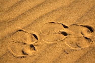 CHA0086 Chad, Elikeo, Ennedi, Sahara. Camel footprints in sand.