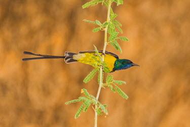 CHA0178 Chad, Wadi Archei, Ennedi, Sahara.  A male Pygmy Sunbird.