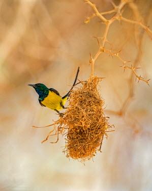 CHA0179 Chad, Wadi Archei, Ennedi, Sahara.  A male Pygmy Sunbird beside its nest.