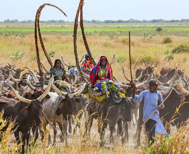 CHA0222 Chad, Arboutchatak, Guera, Sahel. Peul nomads on the move with their long-horned cattle. Their house structures are carried on oxen.