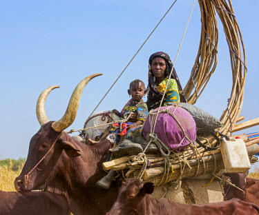 CHA0229 Chad, Arboutchatak, Guera, Sahel. A Peul woman and her daughter ride on the back of a cow loaded with her chattels and the structure of her house.