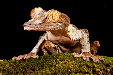 Giant Leaf-tailed Gecko, Uroplatus fimbriatus, Native to Madagascar. Habitat: Arboreal Forest Dweller