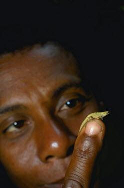 AF24AMR0018 Dwarf or Pygmy Leaf Chameleon (Brookesia minima), perched on a malagasy man fingertip, Montagne d'Ambre National Park, Antsiranana, Northern Madagascar