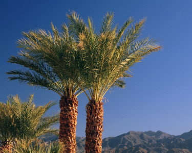Palm Trees at Furnace Creek, Death Valley National Park, California, USA