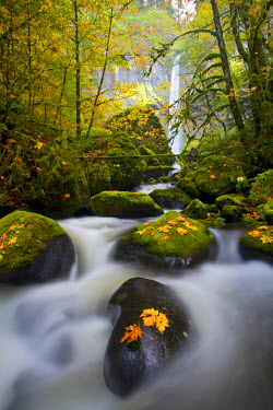 US38GLU0036 USA, Oregon, Columbia Gorge. A rushing McCord Creek with yellow fall color from Bigleaf Maple (Acer macrophyllum) leaves, below Elowah Falls. Digital composite.