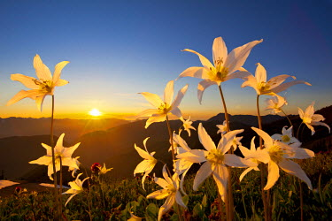 US48GLU0336 USA, Washington State, Olympic National Park. Avalanche Lilies (Erythronium montanum) reach to the sky at sunset in the Olympic mountains, Olympic National Park. Digital Composite.