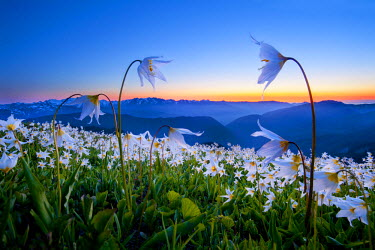 US48GLU0337 USA, Washington State, Olympic National Park. Avalanche Lilies (Erythronium montanum) reach to the sky at sunset in the Olympic mountains, Olympic National Park. Digital Composite.