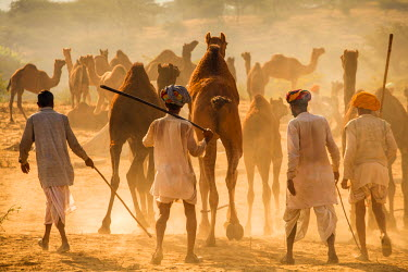 IN05449 India, Rajasthan, Pushkar, Camel herders arriving at Pushkar Camel Fair