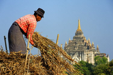 MYA1541 Myanmar, Burma, Mandalay Region, Bagan. Among Bagan's famous pagodas a villager gathers fodder from fields which have been cultivated for centuries.