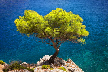 EU09BJN0188 Lone pine tree growing out of solid rock in the Calanques near Cassis, Provence, France
