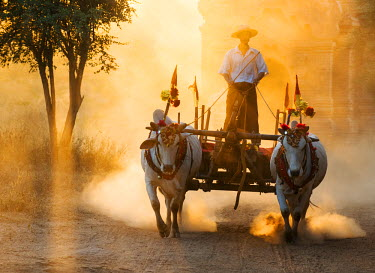 MYA1614AW Oxen cart in the dust during sunset, Bagan, Mandalay, Burma/ Myanmar