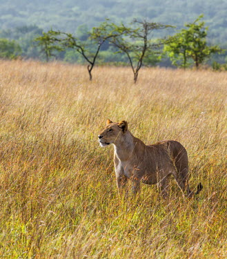 KEN8049 Kenya, Kajiado County; Maasai Wilderness Conservancy. A lioness stares intently in the early morning.