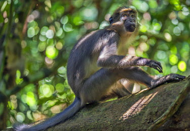 CAR0005 Central African Republic, Dzanga-Sangha, Bai-Hokou.  An Agile mangabey in the tropical rainforest of Dzanga-Sangha.