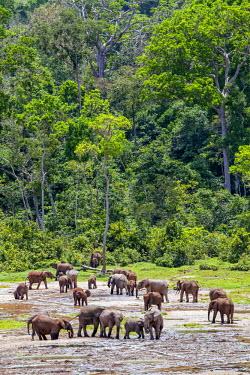 CAR0045 Central African Republic, Dzanga-Ndoki, Dzanga-Bai.  Forest elephants at Dzanga-Bai.