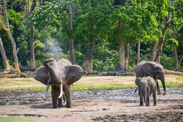 CAR0052 Central African Republic, Dzanga-Ndoki, Dzanga-Bai.  A fine bull Forest elephant spraying itself with mud.