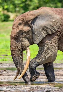 CAR0061 Central African Republic, Dzanga-Ndoki, Dzanga-Bai.  A fine bull Forest elephant sucking up minerals at Dzanga-Bai.