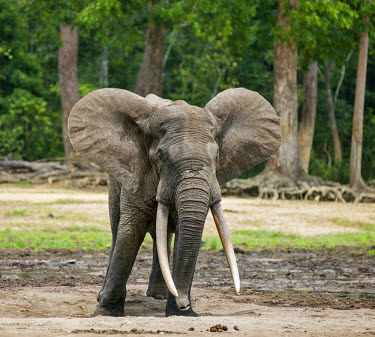 CAR0063 Central African Republic, Dzanga-Ndoki, Dzanga-Bai.  A fine bull Forest elephant beside a mineral dig at Dzanga-Bai.