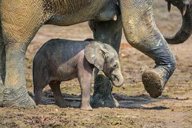 CAR0068 Central African Republic, Dzanga-Ndoki, Dzanga-Bai.  A Forest elephant mother and month-old baby at Dzanga-Bai.