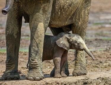 CAR0070 Central African Republic, Dzanga-Ndoki, Dzanga-Bai.  A Forest elephant mother and one-month-old baby at Dzanga-Bai.