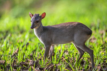 CAR0100 Central African Republic, Bayanga, Sangha River.  A young Blue duiker - a small forest dwelling antelope with large eyes.