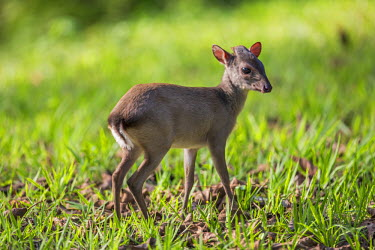 CAR0101 Central African Republic, Bayanga, Sangha River.  A young Blue duiker - a small forest dwelling antelope with large eyes.