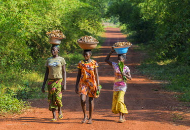 Central African Republic, Bayanga. Bayanga women walk along a dirt road carrying bowls of wild mushrooms on their heads.