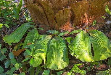 CAR0106 Central African Republic, Bayanga, Dzanga-Sangha. Elephant�s ear ferns.