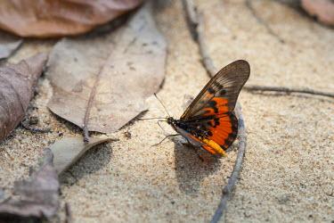 CAR0107 Central African Republic, Bayanga, Dzanga-Sangha. An orange and black butterfly.