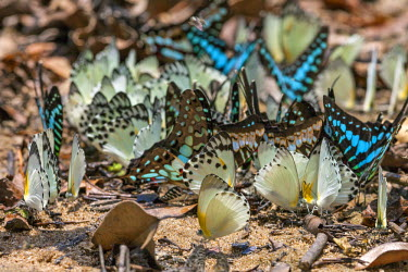 CAR0108 Central African Republic, Bayanga, Dzanga-Sangha. A large cluster of butterflies on wet sand.