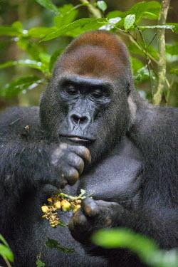 CAR0111 Central African Republic, Bayanga, Dzanga-Sangha, Bai-Hokou. An adult male (silverback) Western lowland gorilla feeding on forest fruit.