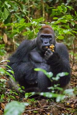 CAR0112 Central African Republic, Bayanga, Dzanga-Sangha, Bai-Hokou. An adult male (silverback) Western lowland gorilla feeding on forest fruit.