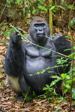 CAR0114 Central African Republic, Bayanga, Dzanga-Sangha, Bai-Hokou. An adult male (silverback) Western lowland gorilla eating a stem.