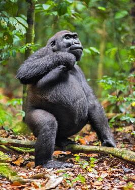 CAR0117 Central African Republic, Bayanga, Dzanga-Sangha, Bai-Hokou. An adult male Western lowland gorilla scratches itself.