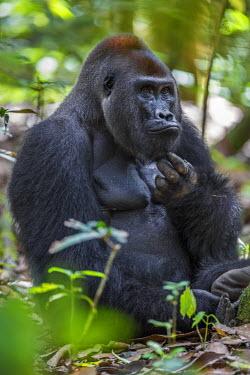CAR0122 Central African Republic, Bayanga, Dzanga-Sangha, Bai-Hokou. An adult male (silverback) Western lowland gorilla scratches his chin.