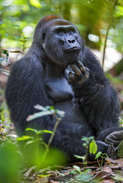CAR0123 Central African Republic, Bayanga, Dzanga-Sangha, Bai-Hokou. An adult male (silverback) Western lowland gorilla scratches his chin.