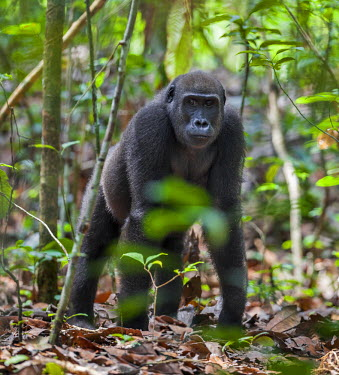 CAR0128 Central African Republic, Bayanga, Dzanga-Sangha, Bai-Hokou. A juvenile Western lowland gorilla pauses during its search for food among dried leaves.