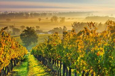 ITA2013AW Italy, Umbria, Perugia district. Autumnal Vineyards near Montefalco.