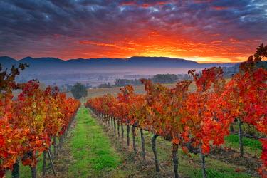 ITA2014AW Italy, Umbria, Perugia district. Autumnal Vineyards near Montefalco.