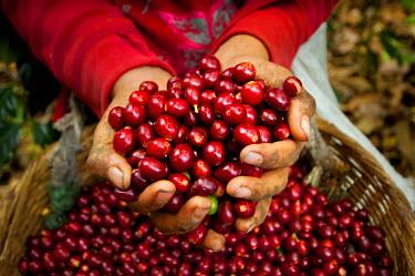 EL01035 El Salvador, Coffee Pickers, Hands Full Of Coffee Cherries, Coffee Farm, Slopes Of The Santa Volcano, Finca Malacara, High Altitude Coffee