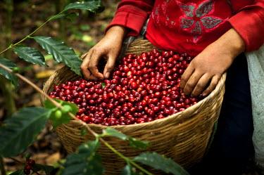EL01037 El Salvador, Coffee Picker, Full Basket Of Coffee Cherries, Coffee Farm, Slopes Of The Santa Ana Volcano, Finca Malacara, High Altitude Coffee
