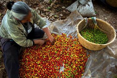 EL01043 El Salvador, Coffee Picker, Sorting Coffee Berries, Coffee Farm, Finca Malacara, Slopes Of The Santa Ana Volcano, High Altitude Coffee,